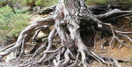 корінь
